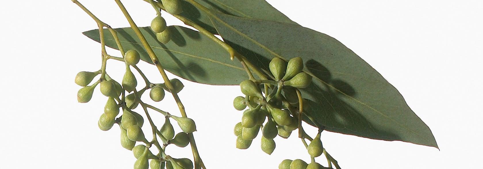 Ingredient_Eucalyptus_hero